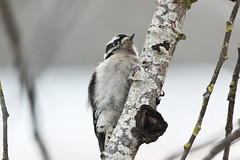 Downy Woodpecker (maritimeorca) Tags: animal bird downywoodpecker greatbackyardbirdcount steigerwaldlakenationalwildliferefuge woodpecker dryobatespubescens
