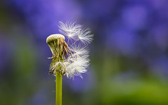 Nearly done... (PhredKH) Tags: canon canoneos canonphotography ef70200mmf28isiiusm photosbyphredkh phredkh outdoorphotography nature naturephotography macrophotography macro flower seeds dandilion depthoffield closeup