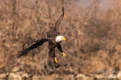 Bald Eagle makes the catch - 12 of 33