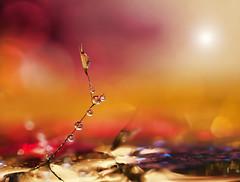 Wishful thinking (miss gecko) Tags: wish star wishing dreams seed weed waterdrops macro