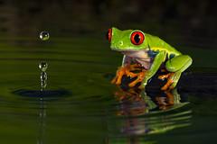 Red-Eyed Tree Frog, CaptiveLight, Bournemouth, Dorset, UK (rmk2112rmk) Tags: redeyedtreefrog captivelight treefrog agalychniscallidryas frog water splash amphibian drop reflection