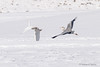 Graureiher verfolgt Silberreiher (rgr_944) Tags: vögel vogel bird oiseau tiere animaux animals natur outdoor canoneos80deos7dmk2eos5dmk4 rgr944