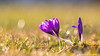1st Crocus Vernus of 2018 (Alexandre D_) Tags: primelens prime vintageprime vintage manuallens manual manualondigital manualfocusing manualexposure closeup wideopen availablelight naturallight backlight backlighting shallowdof bokeh bokehlicious beyondbokeh extremebokeh smoothbokeh nature dreamy soft zen green spring europe macro makro canon eos 70d jupiter6 юпитер6 180mmf28 manualfocus color colors colorful couleur colour colours flower flowers crocus crocusvernus soviet classiclens grass purple small beautiful natural france hautsdefrance billymontigny herbe fleur plants plant nice city bokehballs bokehoftheday bokehmonster bokehful dof depthoffield shallow creamy