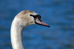 Swan (Millie Cruz *Catching up slowly!) Tags: portrait lonely swan lake stoeversdampark lebanon pennsylvania water white nature outdoors bird acuatic animalplanet closeup