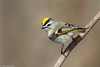 CA3I9136-Golden-crowned Kinglet (tfells) Tags: goldencrownedkinglet bird nature wildlife newjersey nj mercer passerine songbird