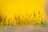 Entrer dans la lumière...! - Enter in the light ...! (minelflojor) Tags: mousse pousse rosée macro bokeh flou miniature fondu petit printemps moss grows dew blur fade small spring carpet