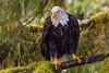 Bald Eagle, Knight Inlet Lodge, British Columbia, Canada 2017 (Fothoner) Tags: adler weiskopfseeadler lachs bald eagle catch salmon knight inlet lodge british columbia kanada
