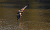 Banking For A Fishing Pass (John Kocijanski) Tags: immaturebaldeagle eagle baldeagle flying flight wings bird birdofprey wildlife nature canon70300mmllens canon7d