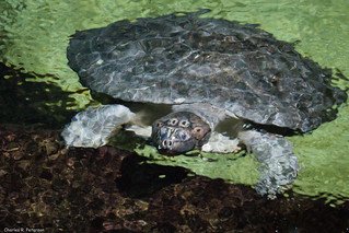 Captive Arrau Turtle