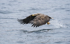 White tailed sea eagle (pixellesley) Tags: bird birdwatching eagle whitetailedseaeagle fishing hunting flying movement action wild free wildlife japan hokkaido ocean sea splash spray sailing boat lesleygooding raptor haliaeetusalblicilla