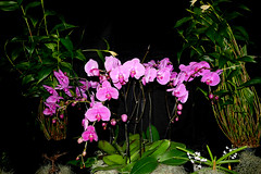 the 2018 pacific orchid exposition: Phalaenopsis orchid hybrid 2-18 (nolehace) Tags: winter nolehace sanfrancisco fz1000 218 flower bloom plant phalaenopsis orchid hybrid poe sdos 2018 pacific exposition pacificorchidexpositon goldengatepark 66th annual orchidsinwonderland countyfairbuilding