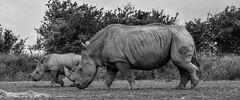Rhino Dalton Wildlife Park N000001 D210bob DSC_4542 (D210bob) Tags: rhino daltonwildlifepark n000001 d210bob dsc4542 nikond7200 birdphotography birdphotos naturephotography naturephotos nikon nikon200500f56 wildlifephotography