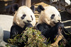 Lunch Time (A Great Capture) Tags: animals cubs panda pandas agreatcapture agc wwwagreatcapturecom adjm ash2276 ashleylduffus ald mobilejay jamesmitchell toronto on ontario canada canadian photographer northamerica torontoexplore winter l'hiver 2018 natur nature naturaleza natura naturephotography naturethroughthelens wild wildlife eating lunch bamboo portrait double two lastdays almostgone