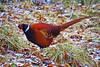 Cock Pheasant (eric robb niven) Tags: ericrobbniven scotland dunkeld dundee perthshire wildlife wildbird pheasant