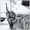 Just scratching (Roswitz) Tags: highland cattle black white