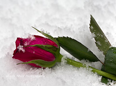 175A6128col400x297 (Len Miles) Tags: redrose rose flower snow snowflakes