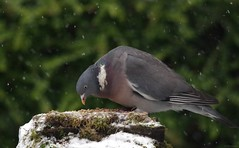 pigeon in snow  (1) (Simon Dell Photography) Tags: snow uk sheffield hackenthorpe s12 simon dell photography 2018 minibeastfromtheeast weather nature wildlife birds