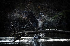 Cormorant (hardy-gjK) Tags: water wasser see teich etang lake oiseaux vögel birds nature motion hardy nikon snapeshot schnappschuss animals tiere eau light licht tropfen drops waterdrop