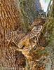 Olympus EM1 II, Barred Owls (billfoxworthy) Tags: owl nest action parents barred