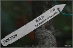 火棘吊牌 (阿鶴) Tags: 阿鶴 鶴仔 阿鶴仔 chenhowen chen howen ho wen wesleychen wesley 台北市植物園 植物園 contax 645 120mm f4 makro macro 微距 apo canon 5dsr 5d