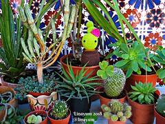 (Linayum) Tags: amigurumi crochet handmade ganchillo cactus plants plantas green verde macetas linayum hechoamano katialanas