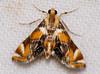 Crambid Moth (Petrophila ? sp.) (berniedup) Tags: kaw roura guyane moth crambidae petrophila taxonomy:genus=petrophila
