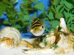 Figure 8 Puffer Fish (nickdavis482) Tags: fish water
