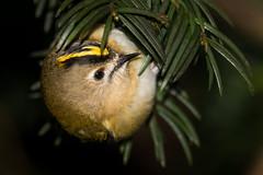 Goldcrest (PINNACLE PHOTO) Tags: regulusregulus goldcrest bird small surrey stripe yellow male red flash feathered sigma 150600c canon martinbillard animal tree foliage leaf