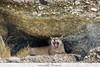 Puma - Chile (Vivek Khanzodé (www.birdpixel.com)) Tags: animals chile cougar felidae mammals mountainlion nature puma pumaconcolor pumaconcolorpuma southamericanmountainlion wildlife