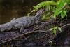 Crocodile ( Philippe L PhotoGraphy ) Tags: colorado limón costarica cr crocodile reptile