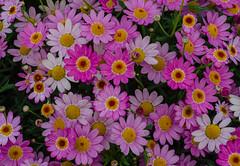 Summer flowers (frankmh) Tags: plant flower helsingborg skåne sweden outdoor