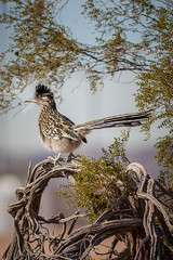 wanna race? (jimmy_racoon) Tags: canon 400mm f56l 5d mk2 henderson bird viewing preserve greater roadrunner birds nature prime canon400mmf56l canon5dmk2 hendersonbirdviewingpreserve greaterroadrunner