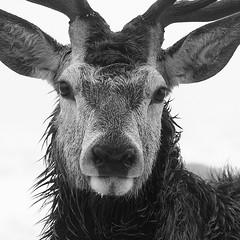 Red Deer Stag (andy_AHG) Tags: reddeer stag antlers wildlife animals mammal nikond300s