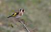 Chardonneret élégant (guiguid45) Tags: nature sauvage oiseaux bird passereaux loiret d810 nikon 500mmf4 chardonneretélégant fringillidés cardueliscarduelis passériformes eurasiangoldfinch