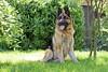 Jenno (foto2015) (wilco79) Tags: canon eos500d ef50mmf18ii dof depthoffield dog pov pointofview nature animal germanshepherd