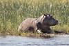 Lower_Zambezi-018 (Beverly Houwing) Tags: hippo mudbath banks zambeziriver africa lowerzambezi zambia