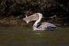Tall Tail (gseloff) Tags: brownpelican bird feeding mullet fish tail nature wildlife animal water bayou mudlake pasadena texas kayak gseloff