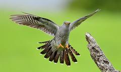 Cuckoo landing (davy ren2) Tags: northumberland cuckoo d500 nature photograthy wildlife