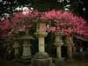 Spring colour at a shrine (torekimi) Tags: japan kansai kyoto flowers garden hanami shrine spring