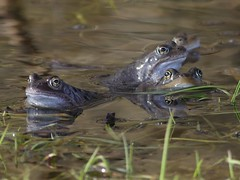 Common Frogs (ukstormchaser (A.k.a The Bug Whisperer)) Tags: common frog frogs animals wildlife milton keynes buckinghamshire march spring water reflections pond stream