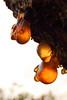 Tree Sap (johntibbetts@tiscali.co.uk) Tags: tree sap amber orange sticky golden