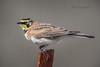 Horned Lark 20180302_8663 (GORGEous nature) Tags: eremophilaalpestris hornedlark klickitatco locations passerine vertebrates washington bird fence perched scenic winter march ©johndavis