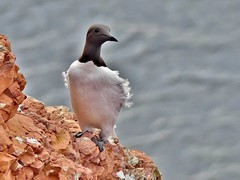 Trottellumme***guillemot [Uria aalge] (BrigitteE1) Tags: trottellumme guillemot murre uriaaalge heligoland inselhelgoland helgoland islandheligoland nordsee northsea germansea deutschland germany vogel bird lummenfelsen specanimal specanimaliconofthemonth