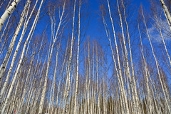 Trunks of birch trees in forest (phuong.sg@gmail.com) Tags: abstract area background bark birch branch bright day deciduous environment foliage forest freshness group grove harmony herb landscape leaf leaves light lush natural nature ornamental outdoors panorama park plant rural scene season spring sunlight sunset texture trees trunk white wilderness wood