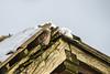 Little Owl (Athene noctua) Pelėdikė