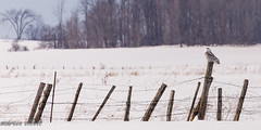 On A Fencepost #HFF (maureen.elliott) Tags: happyfencefriday fence field rural countryside snowyowl perched nature ontario brucecounty bird landscape winter birdsofprey
