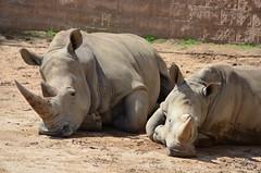 DSC_5353 (Andrew Nakamura) Tags: animal mammal rhino rhinoceros whiterhino southernwhiterhinoceros lyingdown sandiegozoosafaripark safaripark escondido