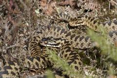 IMG_9273 (Sula Riedlinger) Tags: adder adderviperaberus viperaberus viper snake reptile ukwildlife uknature ukreptile nature nationalnaturereserve surrey surreywildlife surreyheathland wildlife wildlifephotography herpetology