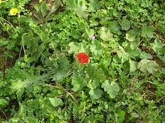 Ψίνθος (Psinthos.Net) Tags: ψίνθοσ φύση εξοχή άνοιξη spring nature countryside psinthos march μάρτησ μάρτιοσ πρωί πρωίάνοιξησ ανοιξιάτικοπρωί morning fasouli fasuli φασούλι φασούλιψίνθου φασούλιψίνθοσ fasoulipsinthos fasoulipsinthou pollen γύρη χόρτα greens poppy παπαρούνα redflower flower wildflower άγριολουλούδι αγριολούλουδο κόκκινολουλούδι redblossom κόκκινοάνθοσ κόκκινοσανθόσ άνθοσ ανθόσ blossom ηλιόλουστημέρα μέρα day sunnyday light φώσ sunlight φώσήλιου φώσηλίου