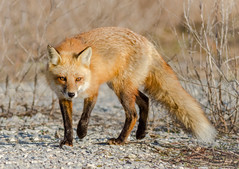 Fox (tresed47) Tags: 2018 201802feb 20180228bombayhookbirds animals bombayhook canon7d content delaware february folder fox peterscamera petersphotos places season takenby us winter